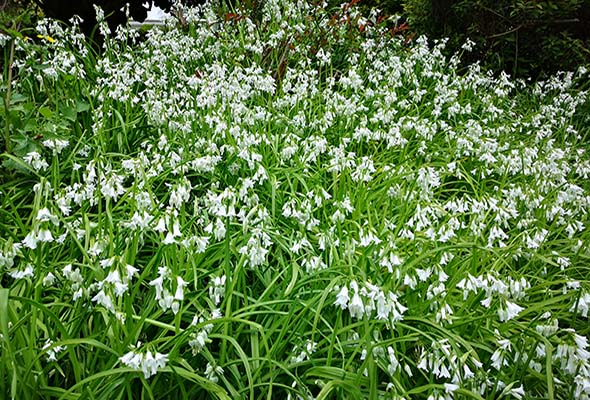 Wild Garlic Killarney