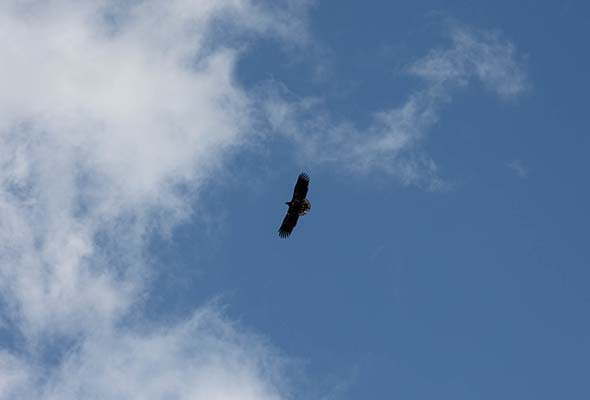 Eagles in Killarney