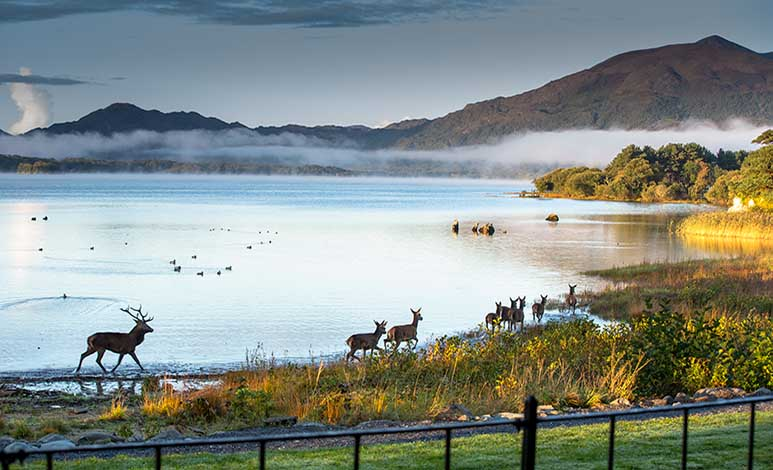 killarney red deer herd
